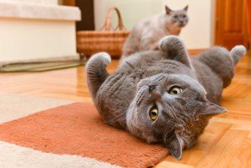cat rolling in the floor