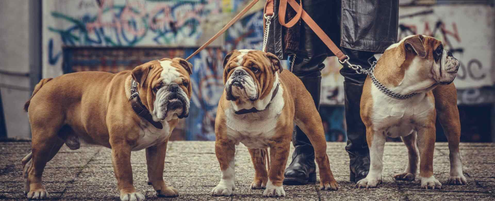 three adult English bulldogs posing outdoor