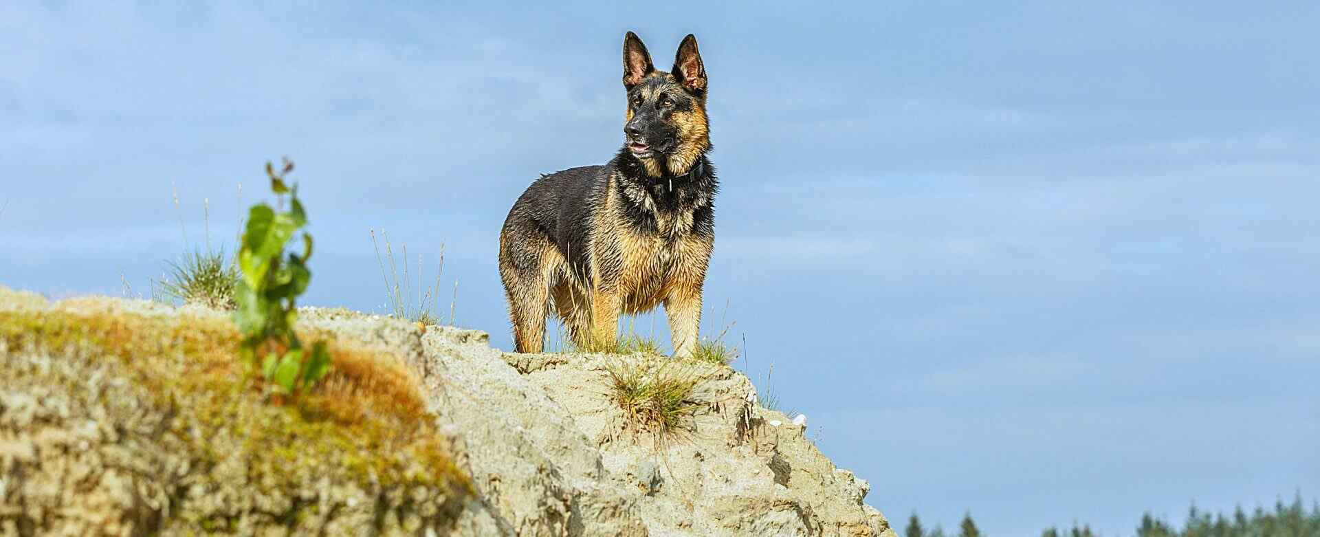 german shepherd on top of a hill