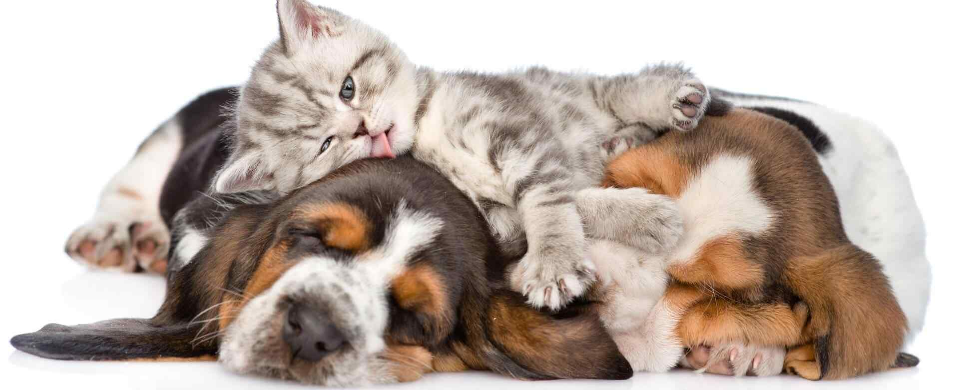 Funny kitten lying on the puppies basset hound and licks them. isolated