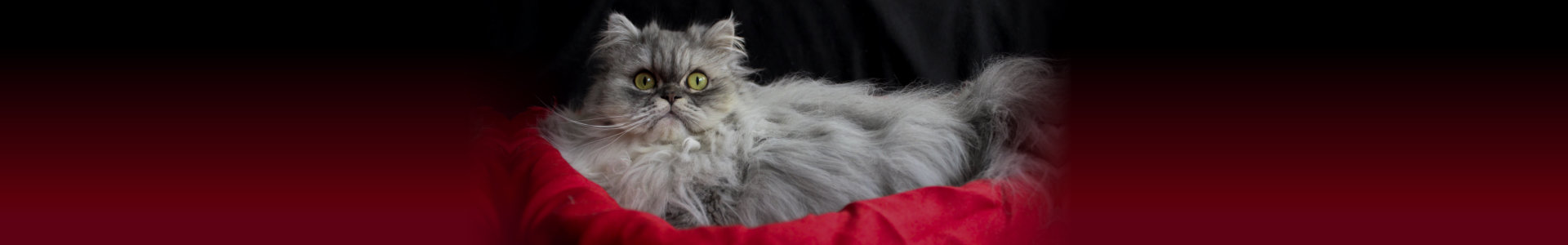 Beautiful persian cat. Olhos, green.